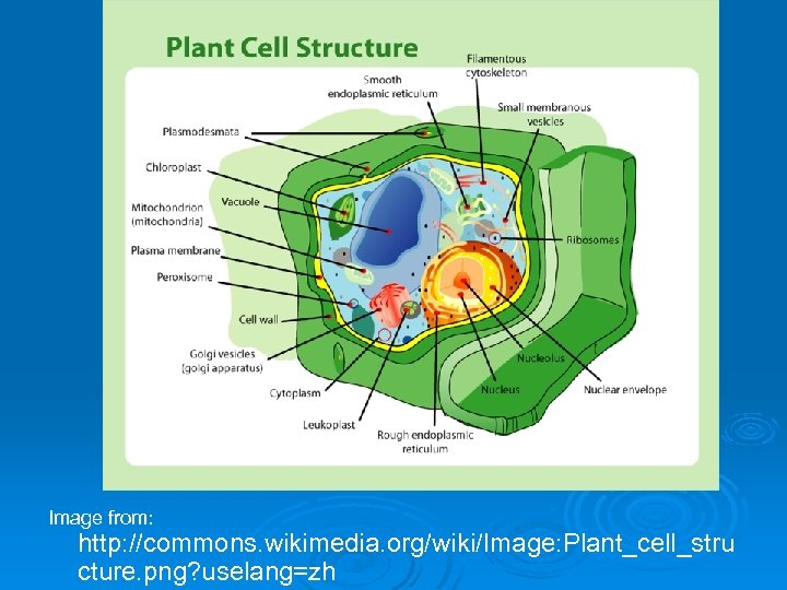 Image from: http: //commons. wikimedia. org/wiki/Image: Plant_cell_stru cture. png? uselang=zh