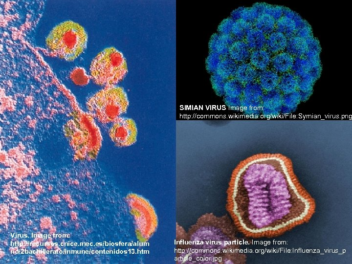 SIMIAN VIRUS Image from: http: //commons. wikimedia. org/wiki/File: Symian_virus. png Virus. Image from: http: