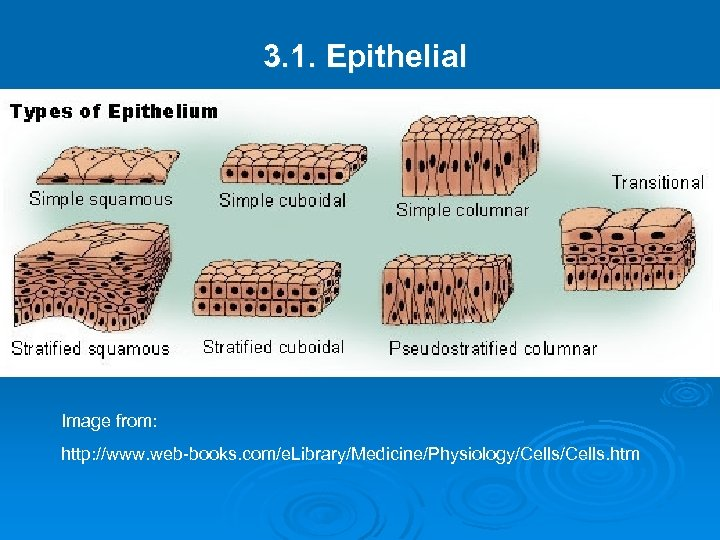 3. 1. Epithelial Image from: http: //www. web-books. com/e. Library/Medicine/Physiology/Cells. htm