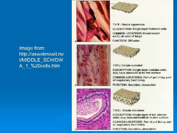 Image from: http: //asweknowit. ne t/MIDDLE_SCH/DW A_1_%20 cells. htm