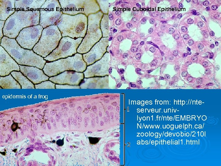 Simple Squamous Epithelium epidermis of a frog Simple Cuboidal Epithelium Images from: http: //nteserveur.