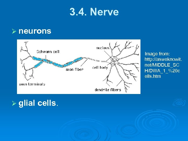 3. 4. Nerve Ø neurons Image from: http: //asweknowit. net/MIDDLE_SC H/DWA_1_%20 c ells. htm