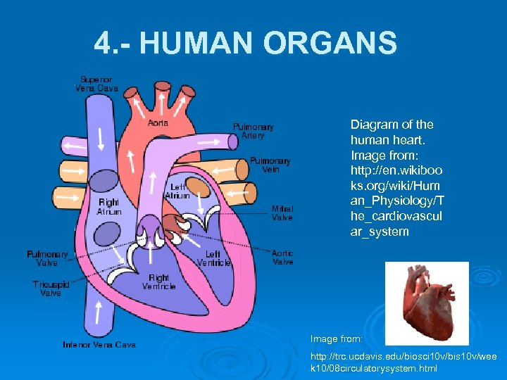 4. - HUMAN ORGANS Diagram of the human heart. Image from: http: //en. wikiboo