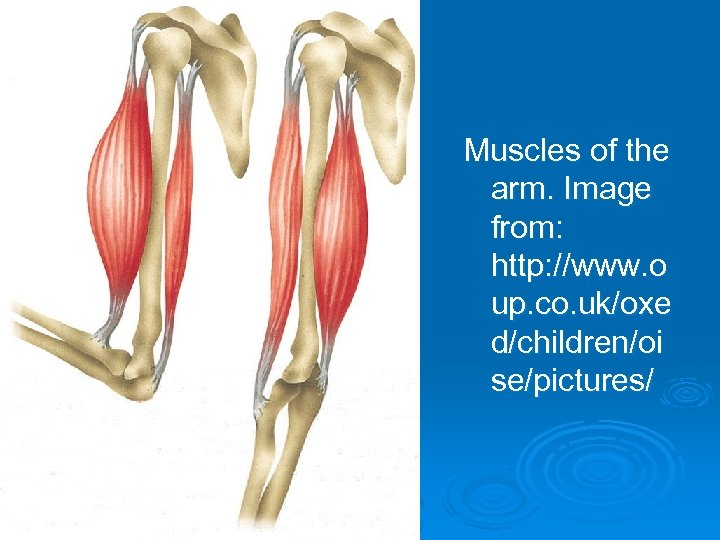 Muscles of the arm. Image from: http: //www. o up. co. uk/oxe d/children/oi se/pictures/