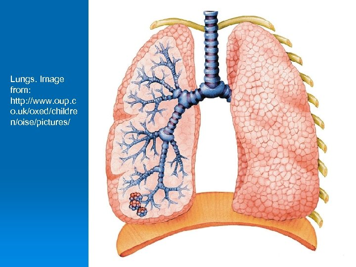 Lungs. Image from: http: //www. oup. c o. uk/oxed/childre n/oise/pictures/