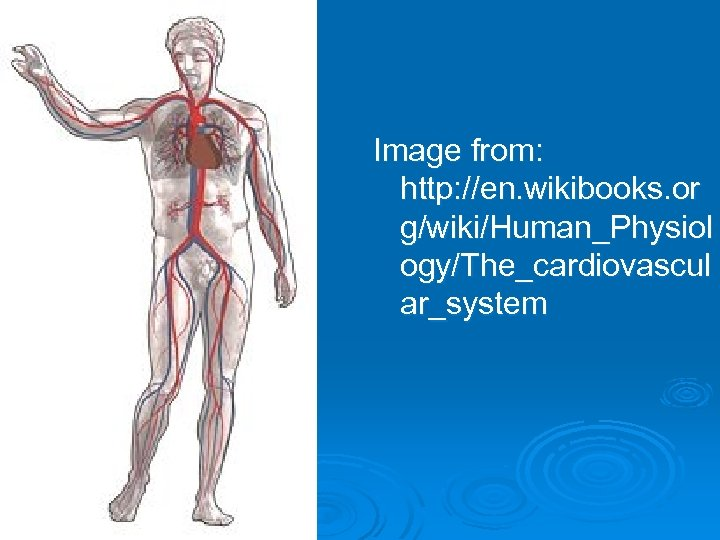 Image from: http: //en. wikibooks. or g/wiki/Human_Physiol ogy/The_cardiovascul ar_system
