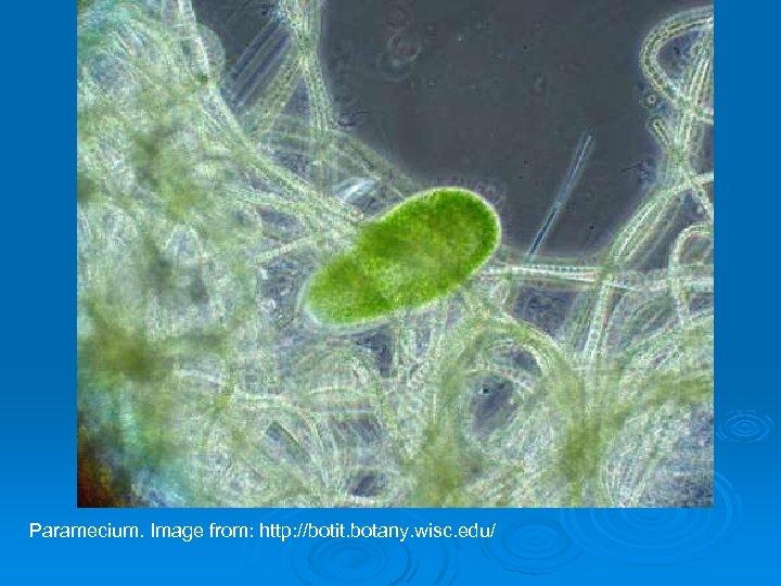 Paramecium. Image from: http: //botit. botany. wisc. edu/