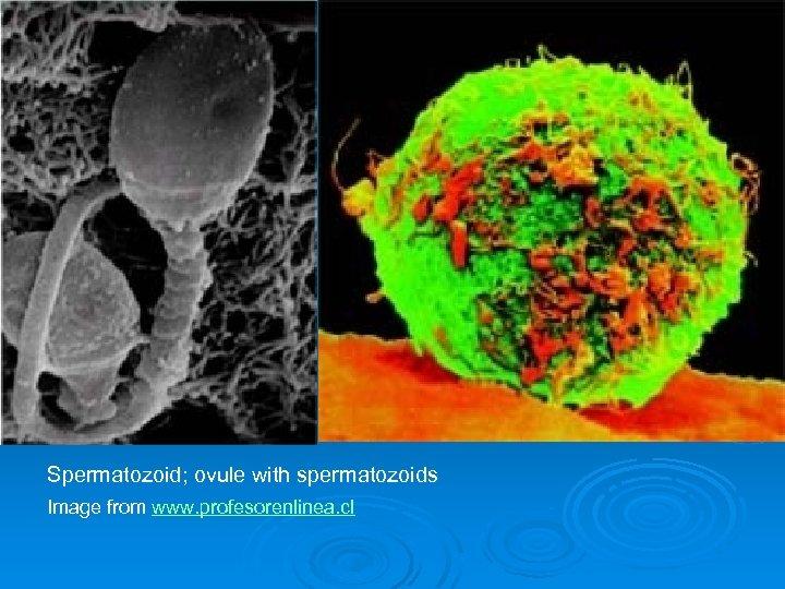 Spermatozoid; ovule with spermatozoids Image from www. profesorenlinea. cl