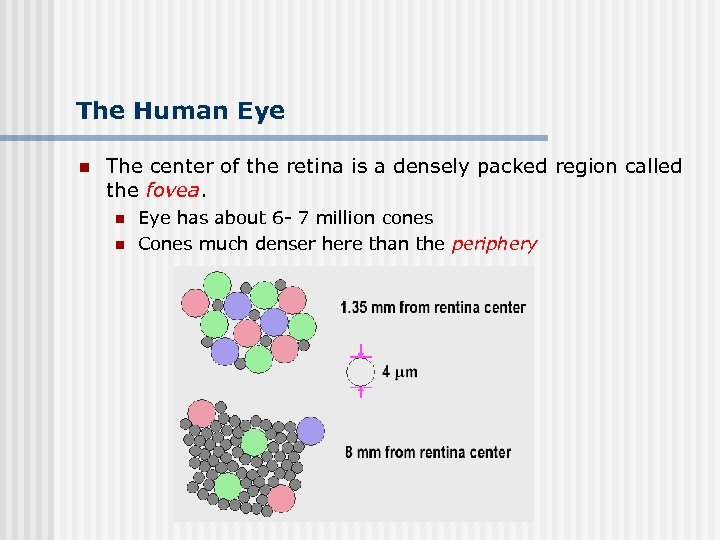 The Human Eye n The center of the retina is a densely packed region