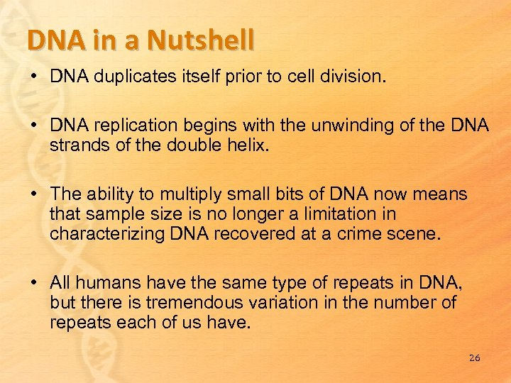 DNA in a Nutshell • DNA duplicates itself prior to cell division. • DNA