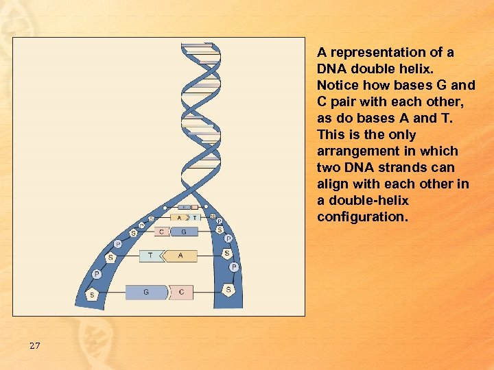 A representation of a DNA double helix. Notice how bases G and C pair