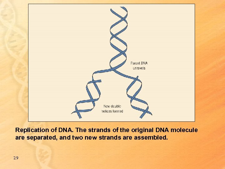Replication of DNA. The strands of the original DNA molecule are separated, and two
