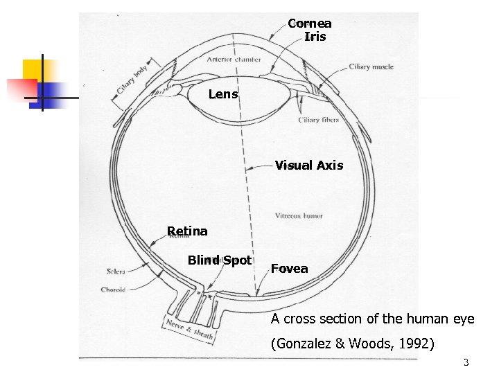 Cornea Iris Lens Visual Axis Retina Blind Spot Fovea A cross section of the