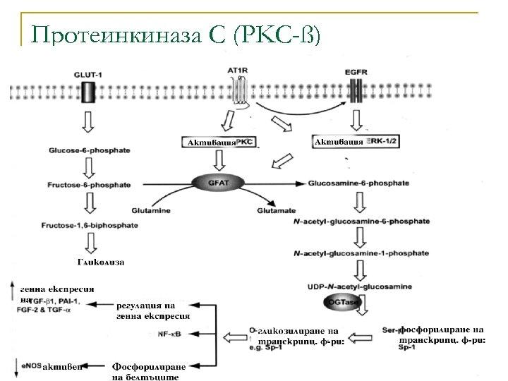Протеинкиназа С (PKC-ß)