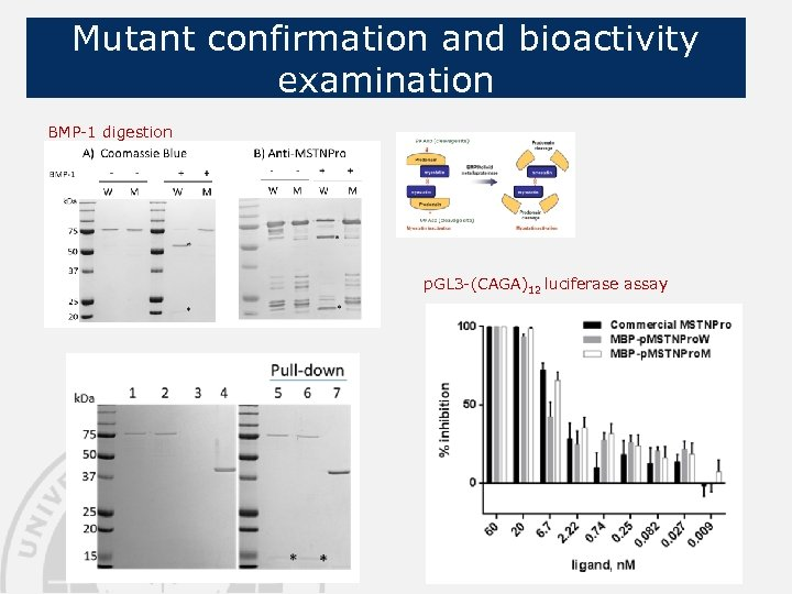 Mutant confirmation and bioactivity examination BMP-1 digestion p. GL 3 -(CAGA)12 luciferase assay