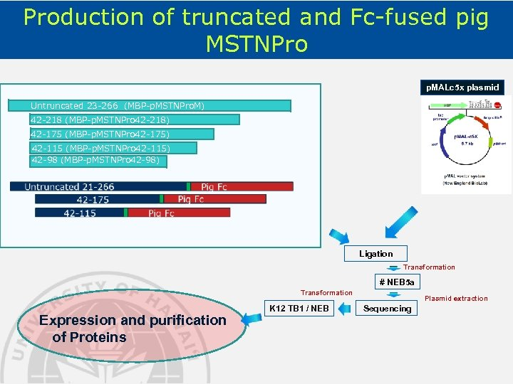 Production of truncated and Fc-fused pig MSTNPro p. MALc 5 x plasmid Untruncated 23