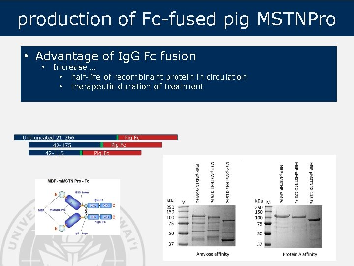production of Fc-fused pig MSTNPro • Advantage of Ig. G Fc fusion • Increase