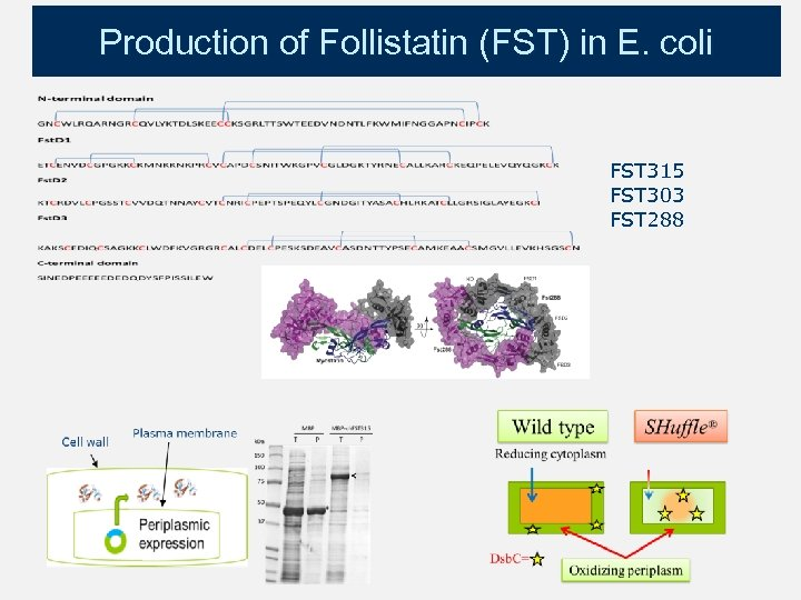 Production of Follistatin (FST) in E. coli FST 315 FST 303 FST 288