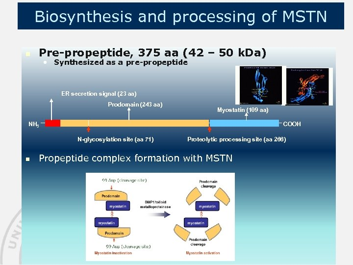 Biosynthesis and processing of MSTN n Pre-propeptide, 375 aa (42 – 50 k. Da)