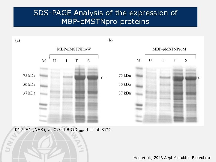 SDS-PAGE Analysis of the expression of MBP-p. MSTNpro proteins K 12 TB 1 (NEB),