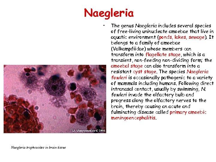 Naegleria • Naegleria trophozoites in brain tissue The genus Naegleria includes several species of