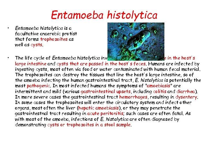 Entamoeba histolytica • Entamoeba histolytica is a facultative anaerobic protist that forms trophozoites as