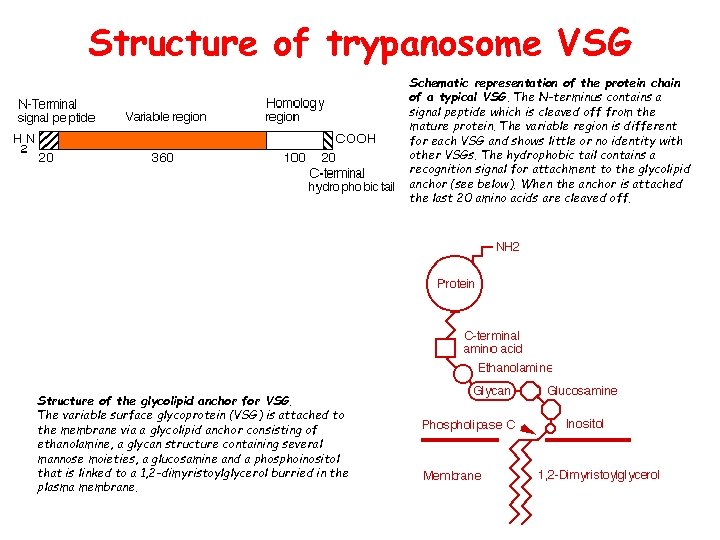 Structure of trypanosome VSG Schematic representation of the protein chain of a typical VSG.