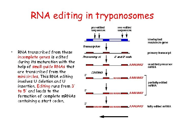 RNA editing in trypanosomes • RNA transcribed from these incomplete genes is edited during