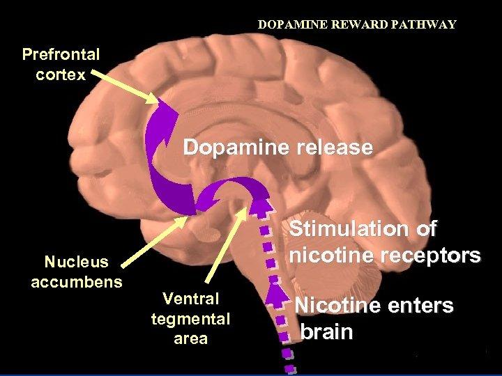 DOPAMINE REWARD PATHWAY Prefrontal cortex Dopamine release Nucleus accumbens Stimulation of nicotine receptors Ventral