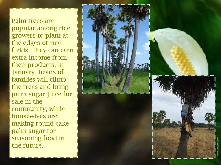 Palm trees are popular among rice growers to plant at the edges of rice