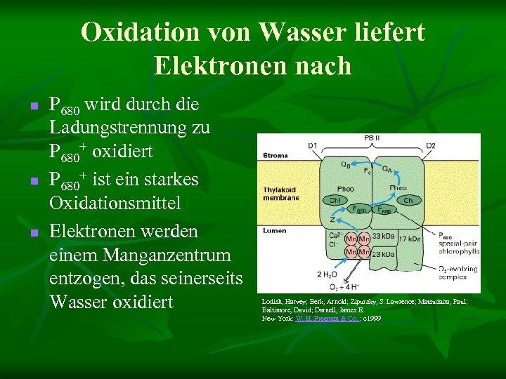 Oxidation von Wasser liefert Elektronen nach n n n P 680 wird durch die