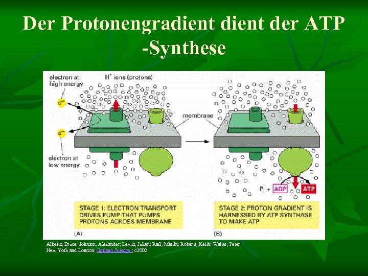Der Protonengradient der ATP -Synthese Alberts, Bruce; Johnson, Alexander; Lewis, Julian; Raff, Martin; Roberts,