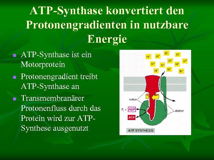ATP-Synthase konvertiert den Protonengradienten in nutzbare Energie n n n ATP-Synthase ist ein Motorprotein
