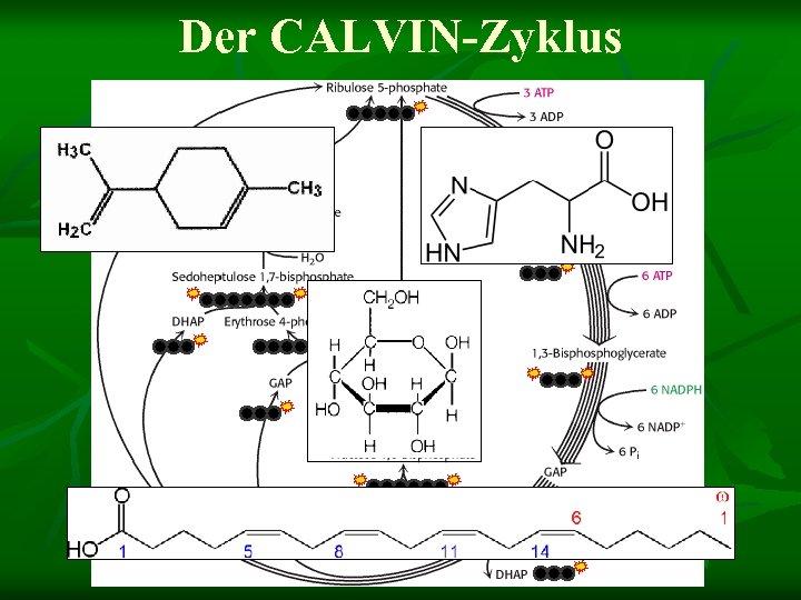 Der CALVIN-Zyklus