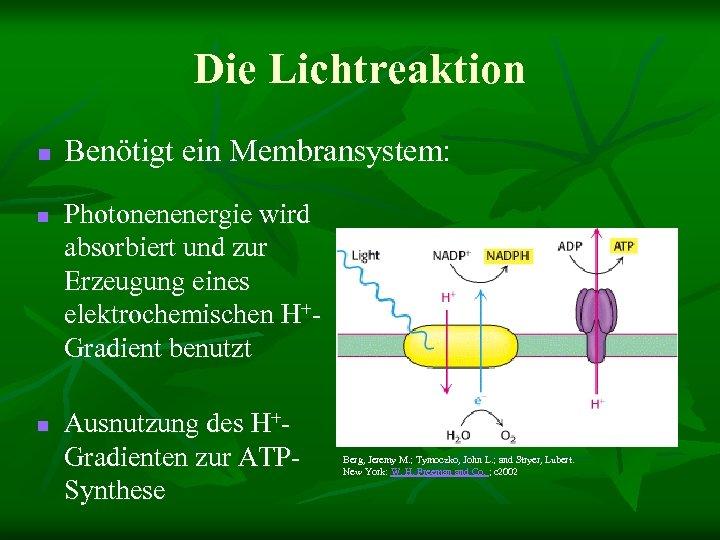 Die Lichtreaktion n Benötigt ein Membransystem: Photonenenergie wird absorbiert und zur Erzeugung eines elektrochemischen