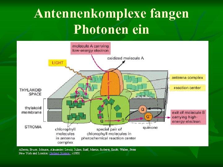 Antennenkomplexe fangen Photonen ein Alberts, Bruce; Johnson, Alexander; Lewis, Julian; Raff, Martin; Roberts, Keith;
