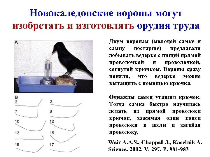 Новокаледонские вороны могут изобретать и изготовлять орудия труда Двум воронам (молодой самке и самцу