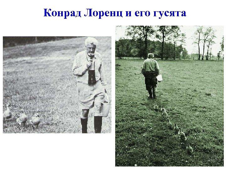 Конрад Лоренц и его гусята