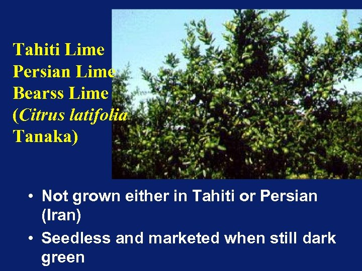 Tahiti Lime Persian Lime Bearss Lime (Citrus latifolia Tanaka) • Not grown either in