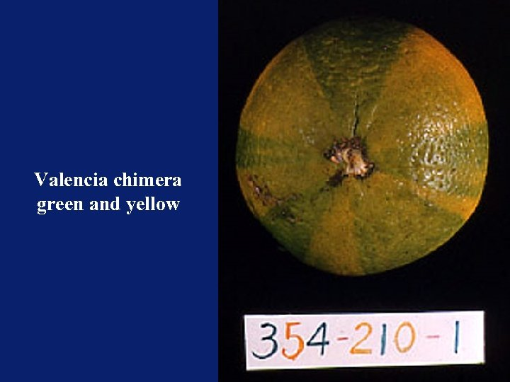 Valencia chimera green and yellow
