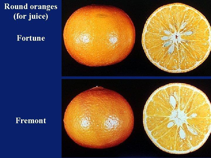 Round oranges (for juice) Fortune Fremont