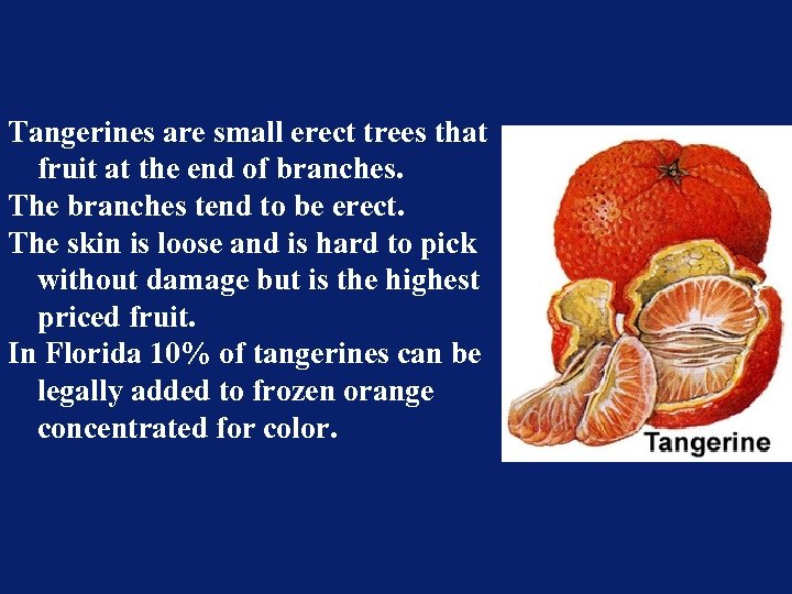 Tangerines are small erect trees that fruit at the end of branches. The branches
