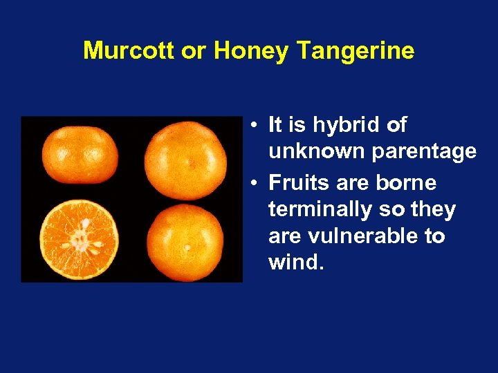 Murcott or Honey Tangerine • It is hybrid of unknown parentage • Fruits are