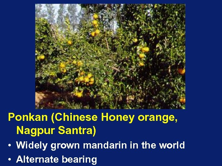 Ponkan (Chinese Honey orange, Nagpur Santra) • Widely grown mandarin in the world •