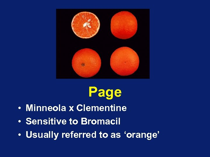 Page • Minneola x Clementine • Sensitive to Bromacil • Usually referred to as