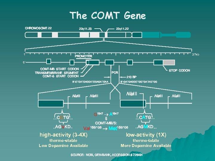 The COMT Gene CHROMOSOME 22 22 q 11. 23 1 22 q 11. 22