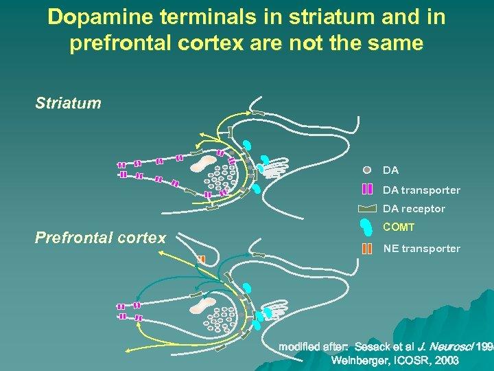 Dopamine terminals in striatum and in prefrontal cortex are not the same Striatum DA