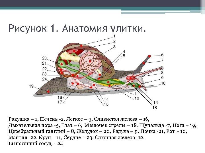 Рисунок 1. Анатомия улитки. Ракушка – 1, Печень -2, Легкое – 3, Слизистая железа
