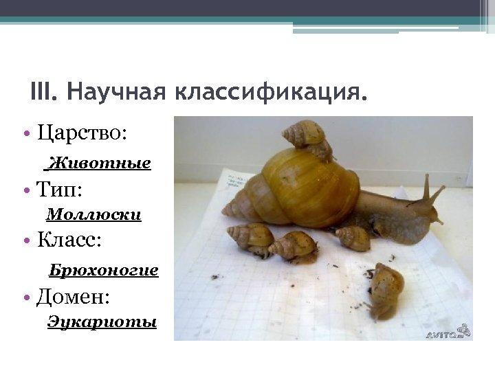 III. Научная классификация. • Царство: Животные • Тип: Моллюски • Класс: Брюхоногие • Домен: