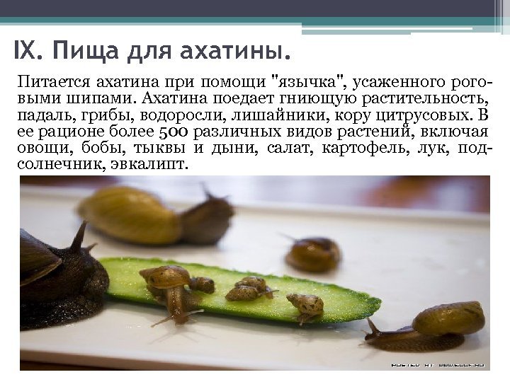 IX. Пища для ахатины. Питается ахатина при помощи